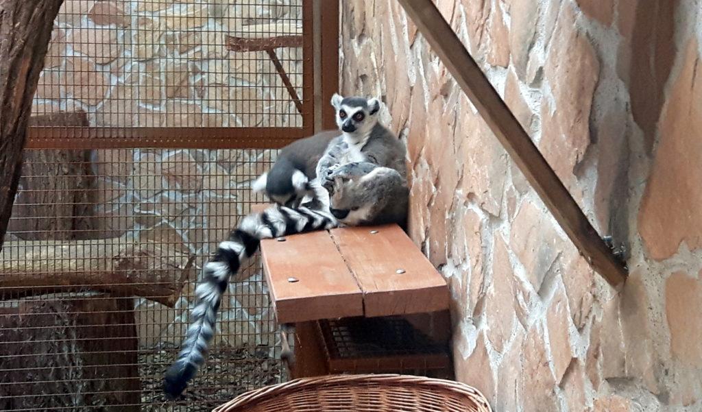 lemury toruń